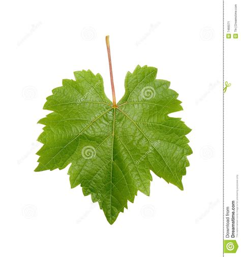 grapevine leaf stock image image  grape leaf texture