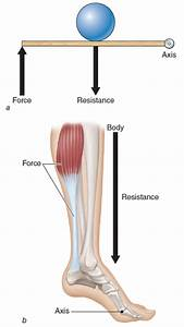 Kinetic Anatomy 3E: Levers work to create movement in the ...