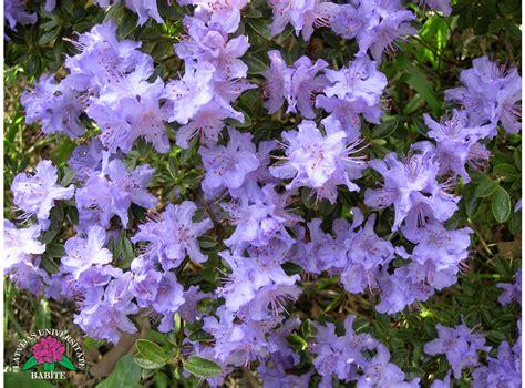 Latvijas stādi - Rhododendron impeditum - blīvais rododendrs