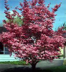 Cornus Florida Rubra : buy affordable red dogwood trees at our online nursery ~ Frokenaadalensverden.com Haus und Dekorationen