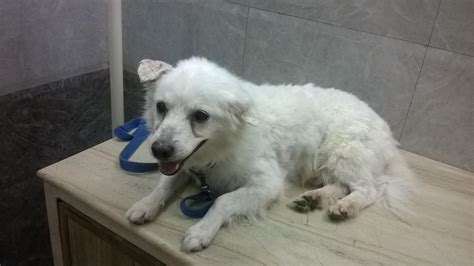 spy indian spitz  adoption  delhi independent