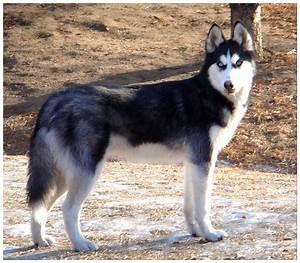 White Siberian Husky Wolf Mix Puppy Photo - Happy Dog Heaven