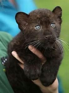 Black Panther Cub   Animals   Pinterest