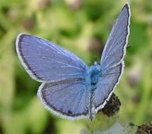 Ceraunus Blue  Hemiargus Ceraunus