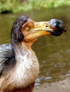 Dodo Info History And Photos The Wildlife