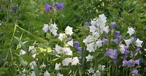 Kletterrosen Richtig Pflanzen : glockenblume pflanzen pflege und tipps mein sch ner garten ~ Markanthonyermac.com Haus und Dekorationen