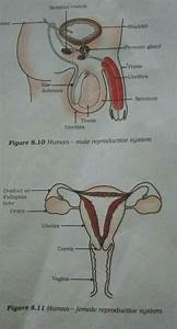 Name The Male And Female Reproductive Organs Draw Labelled Diagram