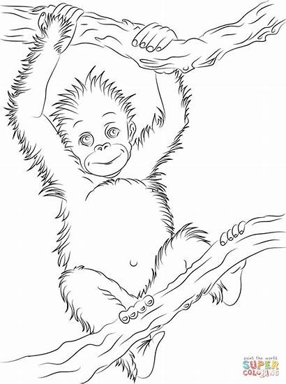 Orangutan Coloring Printable Animal Drawing Orangutans Colorare