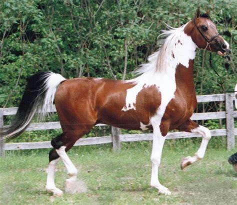 saddlebred horse american horses breeds saddlebreds saddle breed pinto saddler names long riding information paint stallion bred western friendly weneedfun