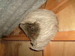 Nid De Guepe Dans Le Sol : fichier nid de guepes jpg wikip dia ~ Dailycaller-alerts.com Idées de Décoration
