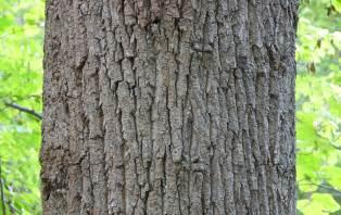 file tulip tree liriodendron tulipifera trunk bark 3000px jpg