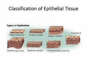 5 Epithelium Sp