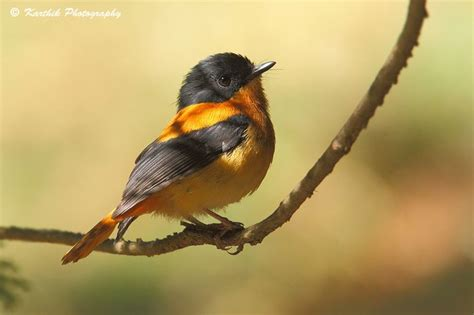 bird spots in southern india birds black and orange flycatcher southern india
