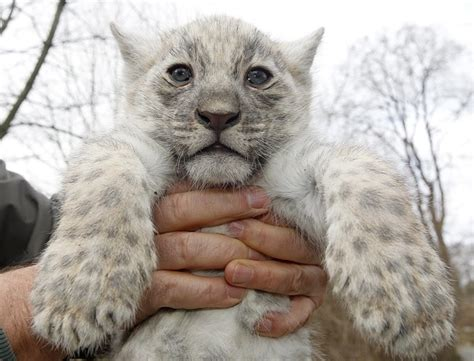 meet  worlds  white jaguar cubs born  captivity