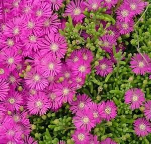 Balkonpflanzen Sonnig Pflegeleicht : bodendecker gegen unkraut welche pflanzen eignen sich daf r ~ Frokenaadalensverden.com Haus und Dekorationen