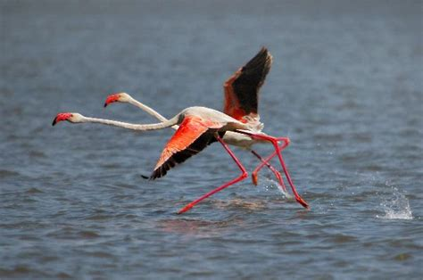 do flamingos fly flamingo preparing to fly at lake naivasha kenya flamingo facts and information