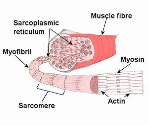Muscle Fiber Diagram