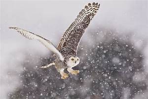 White Wolf : These 10 Incredible Photos of Snowy Owls in ...