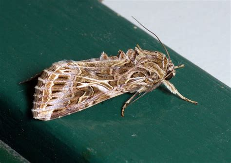 armyworm spodoptera litura