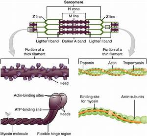 Muscle Cell  Myocyte   Definition  Function  U0026 Structure