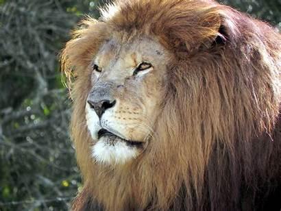 Lion Instinct Animal Beast Meaning Fear Animals