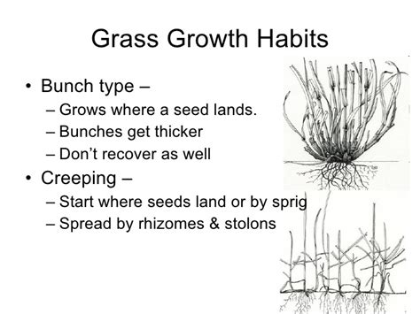 transition zone turf lawns grass growth intro bunch habits