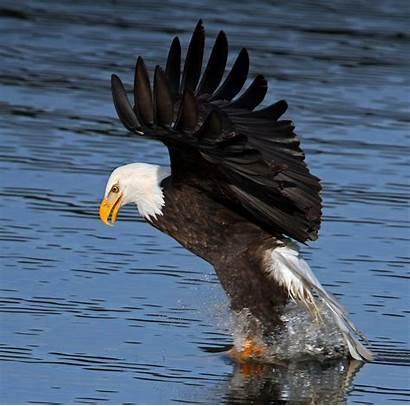Bald Lake Eagle Cda Eagles Snatching Far
