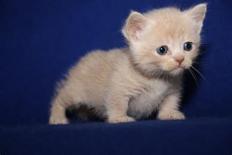 scottish fold munchkins scottish fold kittens price range i pets world