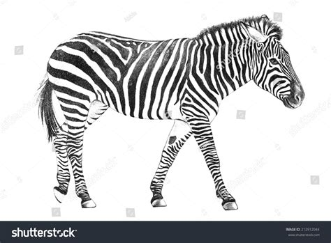 Hand Drawn Zebra Sketch Zoo Animal Stock Illustration