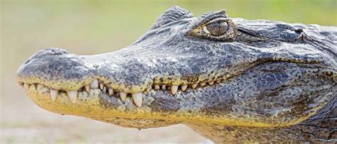 Sapņu tulks krokodils. Ko nozīmē sapnī redzēt krokodils?