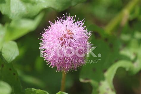 Purple Fluffy Flower Stock Photos Freeimagescom
