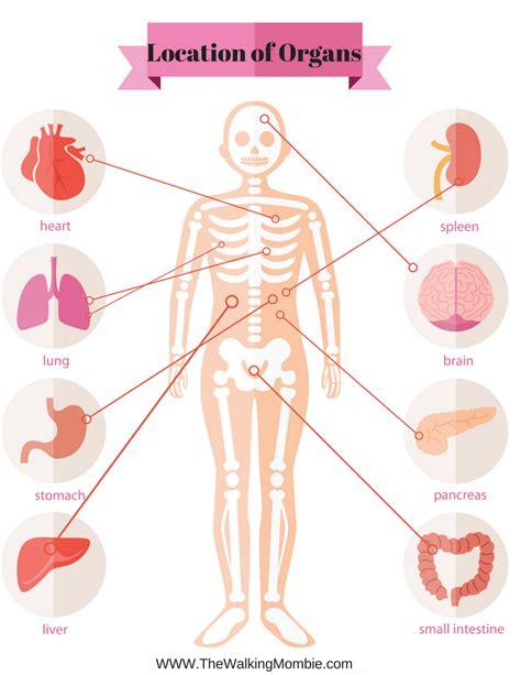 Human Anatomy Labeling Exercise