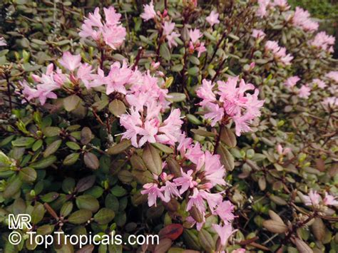 rhododendron trees for sale rhododendron racemosum rock rose racemose rhododendron toptropicals com