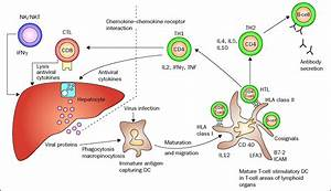 Immunology of hepatitis B infection - The Lancet ...