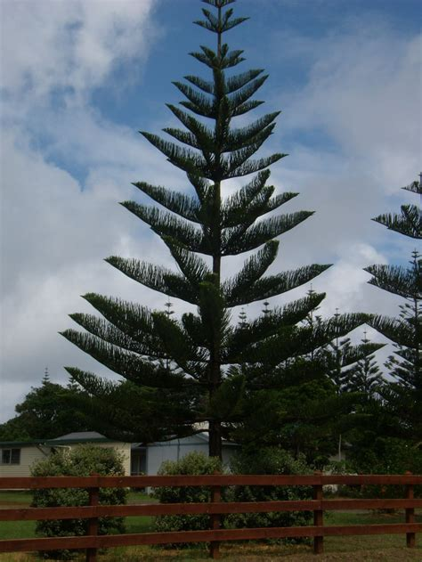 norfolk island pine    trees    fall