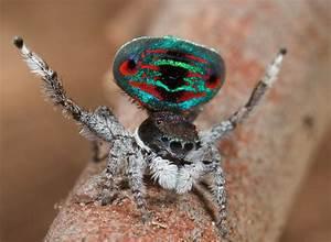 Faire Fuir Les Araignées : les araign es paon sauteuses ~ Melissatoandfro.com Idées de Décoration