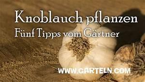 Wann Ist Knoblauch Reif : knoblauch pflanzen f nf tipps vom g rtner youtube ~ Lizthompson.info Haus und Dekorationen