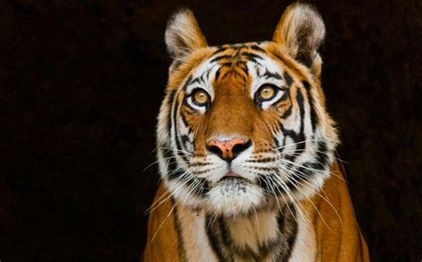 blundering officials  india crush bengal tiger  death