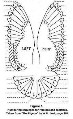 Mumtaztic Pigeon Loft - Origin Of the English Tippler | Bird wings, Flying bird tattoo