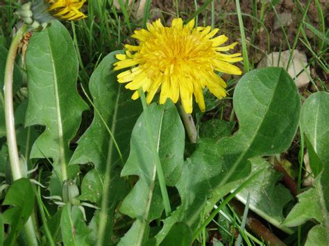 tarassaco fiore tarassaco dente di propriet 224 e simbologia erbe