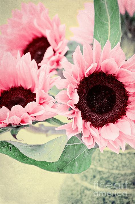 pink sunflowers photograph  angela doelling ad design