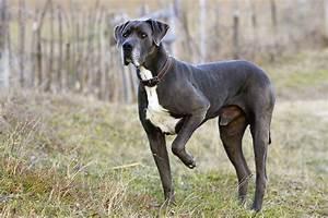 Great Dane Dog Breed Profile