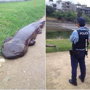 A giant salamander came out of a river in Kyoto. / 9gag ...