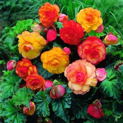 are begonias annuals tuberous begonias garden annuals pinterest