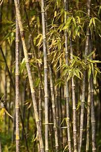 Bambus Braune Blätter : bambus hat braune bl tter das k nnen sie dagegen tun ~ Frokenaadalensverden.com Haus und Dekorationen
