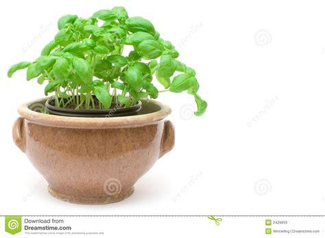basilic mis en pot image stock image du frais condiments 2429833