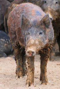 Across N.C.: Pigs Gone Wild | Coastal Review Online