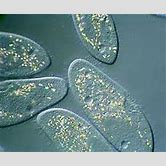 protist-pictures-and-names