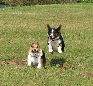 Flying Corgis!!! This cracks me up! | Corgis are the best ...