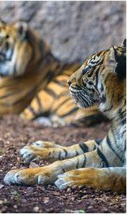 Tiger 4k Ultra HD Wallpaper   Background Image   4500x2860 ...